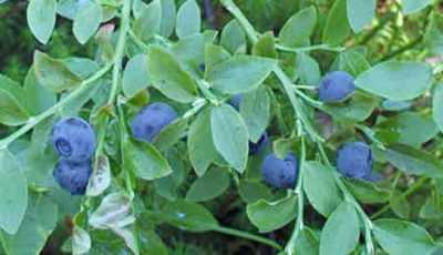 Свойства листьев черники при диабете