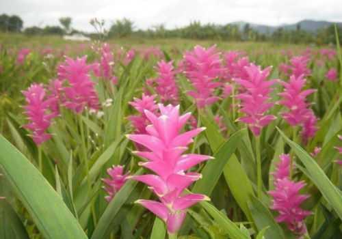 цветы полезной пряности
