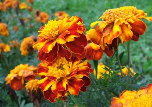 цветки чернобривцев