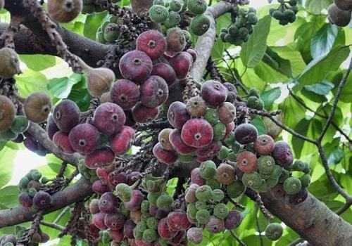 плоды фигового дерева
