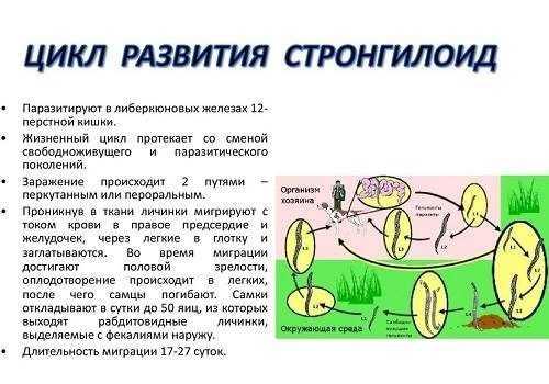 развитие Стронгилоиды
