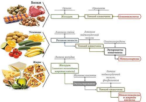 различные ферменты для разной пищи
