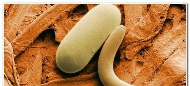 Многообразие паразитов в поджелудочной железе