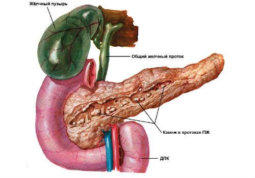 анатомические особенности внутреннего органа