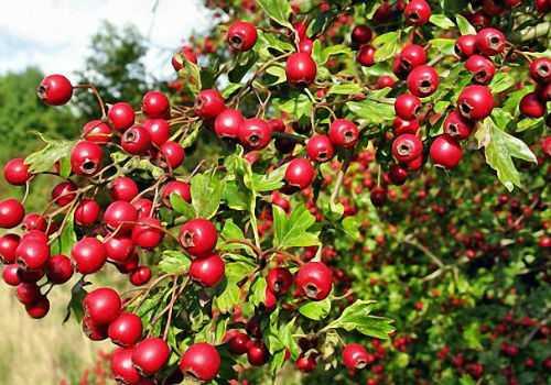 ягоды боярышника