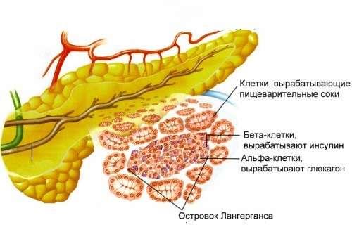 строение внутреннего органа