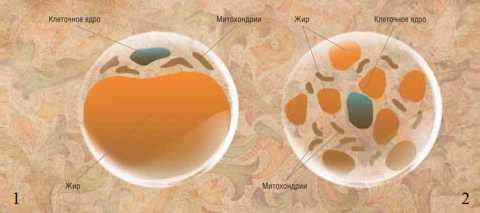 Белый (1) и бурый (2) адипоциты