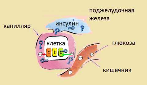 Инсулин – транспортный гормон, «открывающий» мембрану клетки для глюкозы