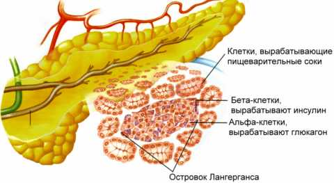 Инсулин вырабатывают особые бета-клетки в поджелудочной железе