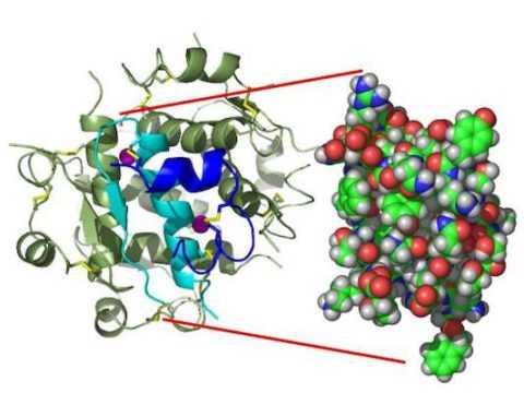 Инсулиновая молекула – это комбинация 16 аминокислот и 51 аминокислотных остатков