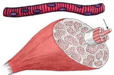 Клетки скелетных мышц