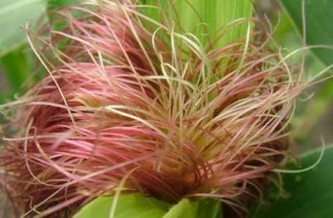 Кукурузные рыльца, золотарник канадский, береза (листья и почки), птичий горец, шалфей.