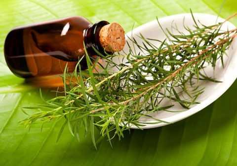 Лечение грибка маслом чайного дерева.