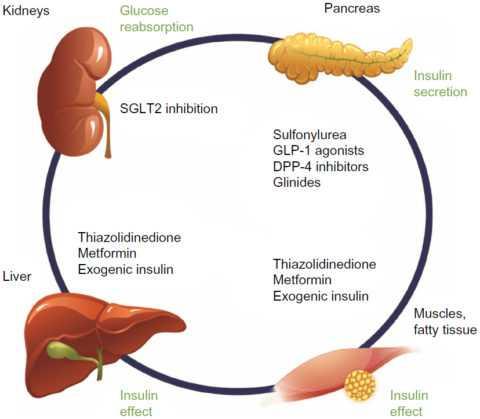 Органы-мишени основных препаратов, используемых при сахарном диабете.