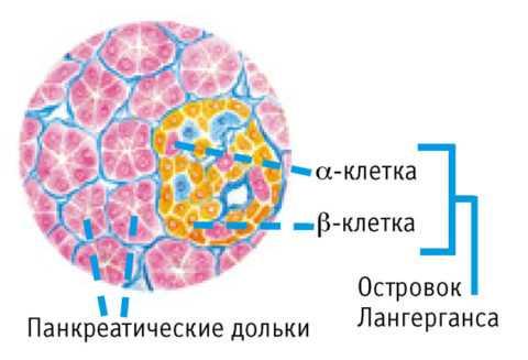 Островки Ланегрганса составляют всего 3% всей массы небольшого органа, но выполняют особую роль в жизнедеятельности организма.