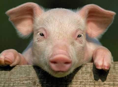 Отличие свиного инсулина от человеческого – только одна аминокислота