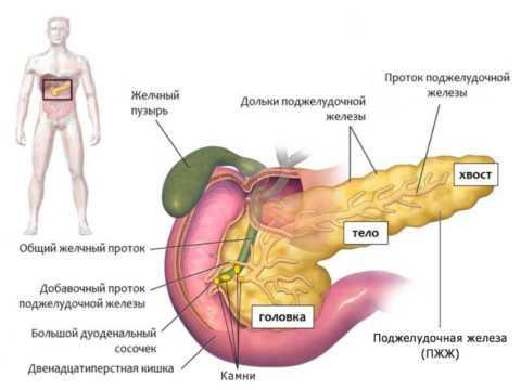 Pancreas – не только внешнесекреторный, но и эндокринный орган