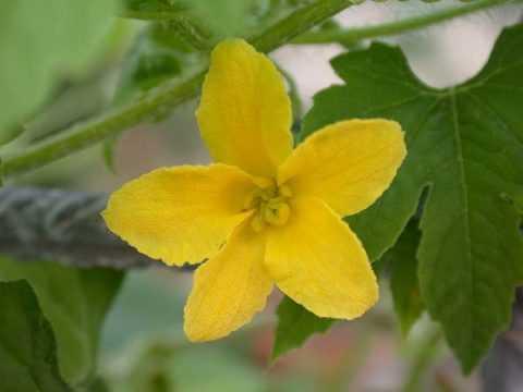 Полезные вещества входя в состав плодов, а также листьев и цветов растения.