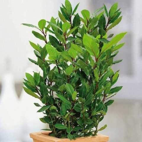 Получать свежую зелень регулярно, можно выращивая лавр в домашних условиях.