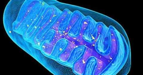 При физической нагрузке, мышечные митохондрии активнее поглощают глюкозу из крови