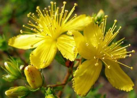 Растение для стабилизации сахара