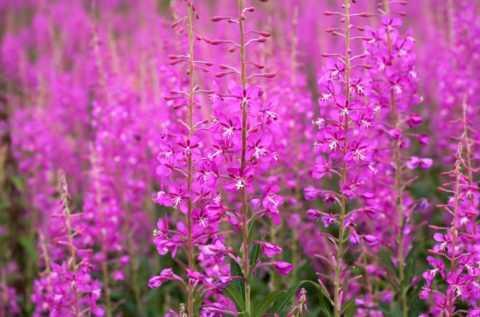 Растение иван-чай, кипрей или хаменерий узколистный