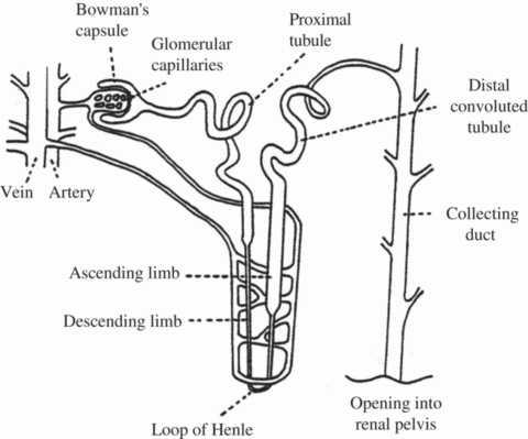 Схема тубулярного аппарата почки – мишени для применения нового препарата от диабета.