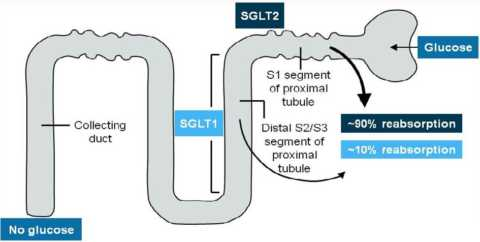 Схематическое изображение воздействия новых препаратов на почечный аппарат.
