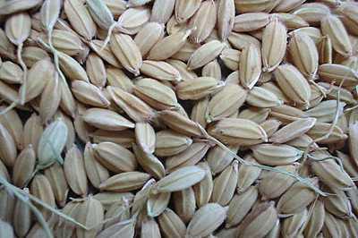 Смолотые семена риса посевного