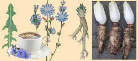 Цикорий обыкновенный и цикорий салатный (эндивий)