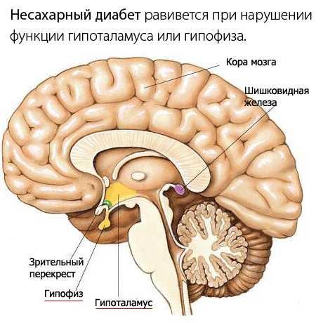 Все дело в гормоне вазопрессине