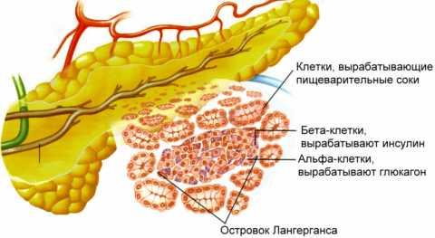 Выработка инсулина производится β-клетками поджелудочной железы.