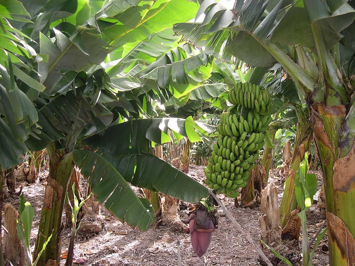 созревание банана