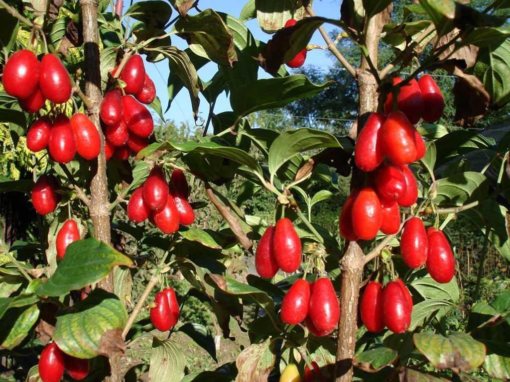 Свойства ягоды