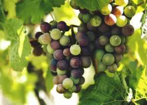 Виноград при диабете